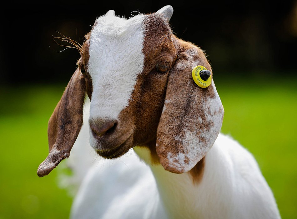 Goat with tag in ear