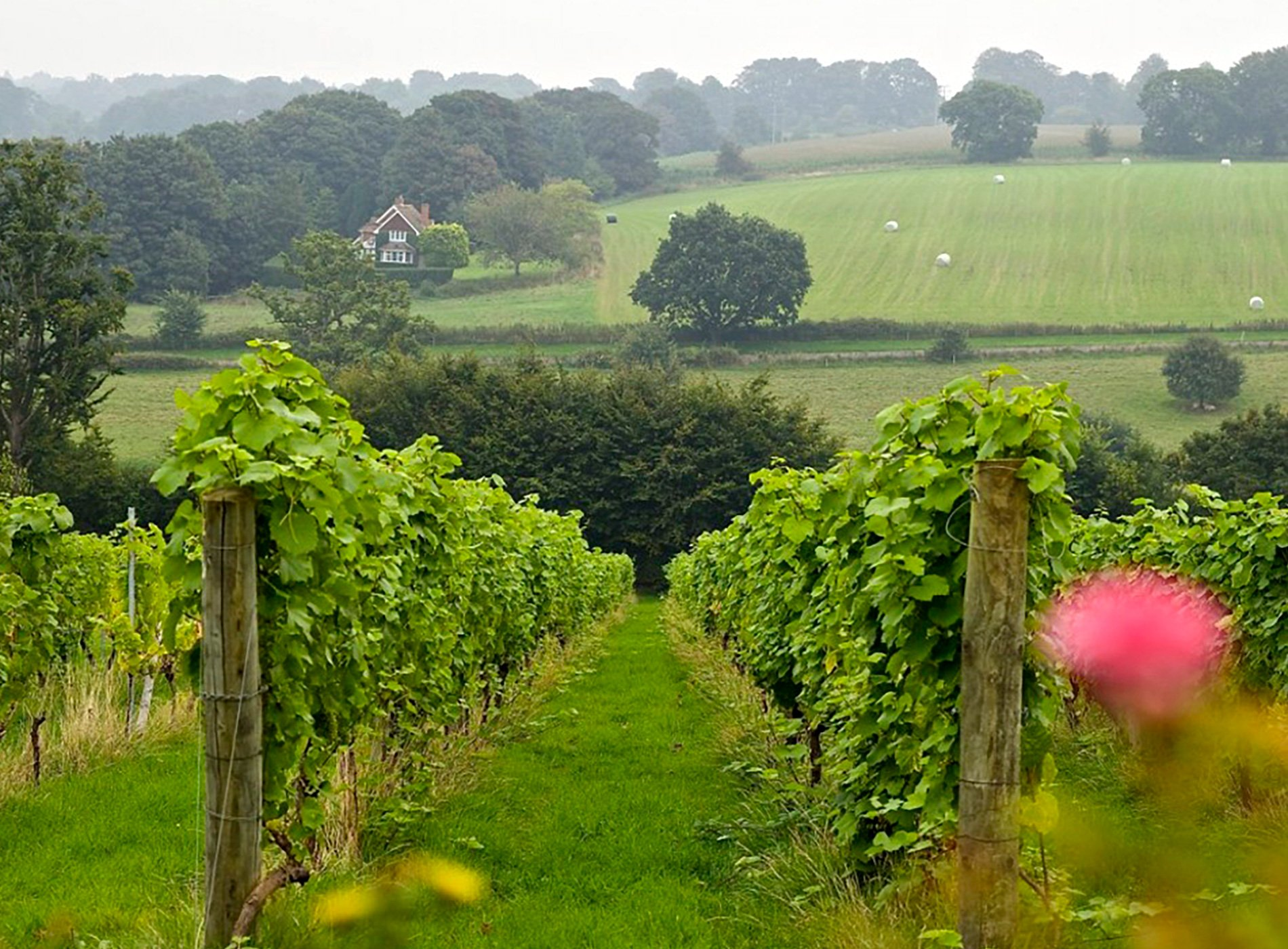 View of a'Becketts vineyard, Wiltshire