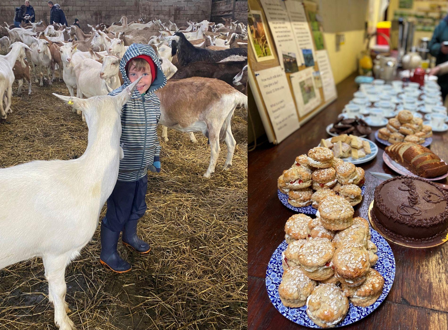 Child, goat and tea